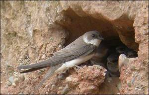 Bird Watch - Sand Martins Move to Guiseley,  by Darren Shepherd