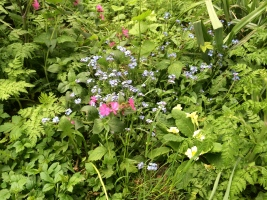 Primrose, red campion and forget me not